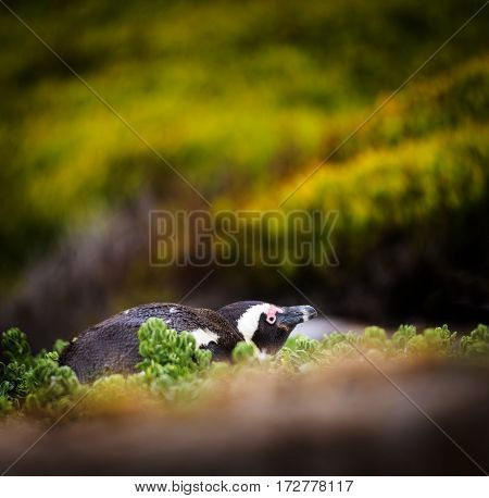 Shy African Penguin