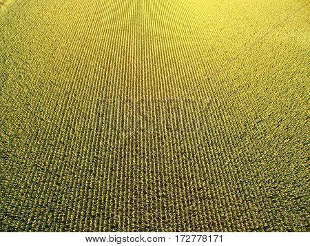 Green field of maize