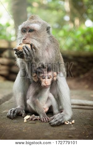 Mother and baby monkey at sacred monkey forest, Ubud, Bali, Indonesia.