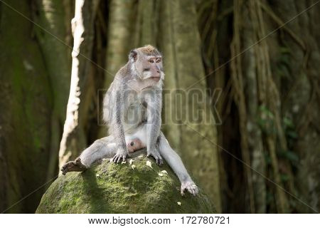 Funny monkey sitting on stone, sacred monkey forest