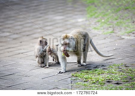 monkey mother with her children, forest in Ubud, Bali