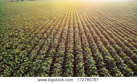 Field with grown soy in rows