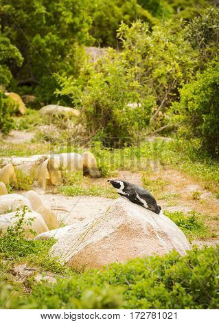Sunbathing African Penguin