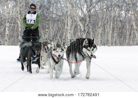 PETROPAVLOVSK-KAMCHATSKY KAMCHATKA RUSSIA - April 13 2014: Running dog sled team (Alaskan husky) musher Andrey Semashkin. Kamchatka Regional Competitions Sled Dog Racing in distance 40 kilometers.