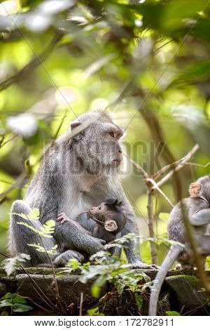 female long tailed monkey with her infant at breast, Sacred Monkey Forest, Ubud. Bali, Indonesia