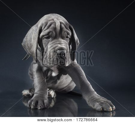 Grey Great Dane purebred puppy on a dark background