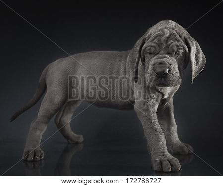 Purebred Great Dane puppy standing on a dark background