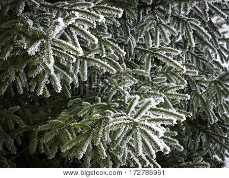 Abstract seasonal background Spruce twigs with icing