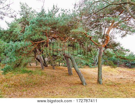 stunted pine on the coast on cold autumn day