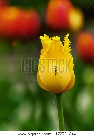 yellow Tulip on a blurred background with a mosquito sitting on it
