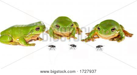 Three Frogs And Flies