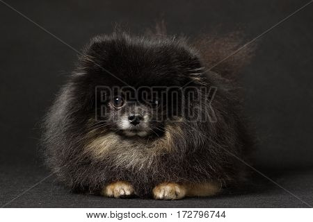 Black Spitz breed dog on a black background