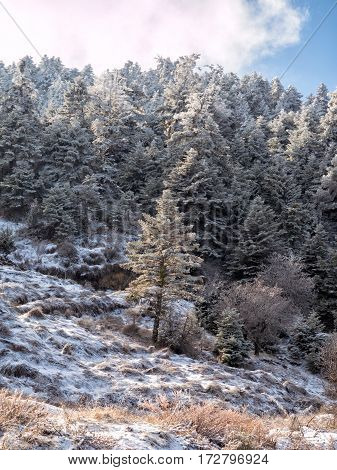 Trees covered with snow of Helmos mountain in Kalavrita