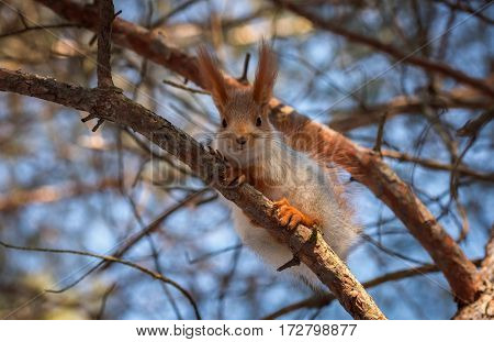 squirrel on a pine tree clouse-up. wild animals. endangered species.