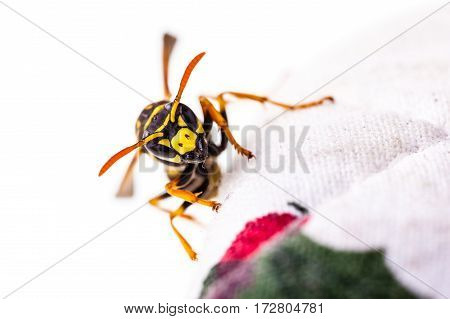 Wasp Crawling On Tablecloth
