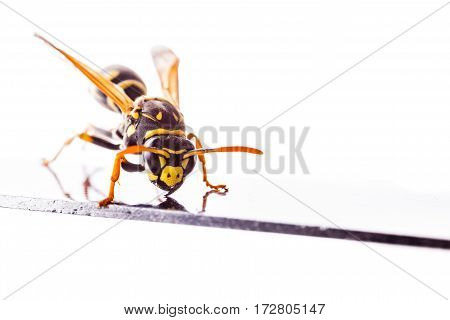 Wasp On A Metal Surface Isolated