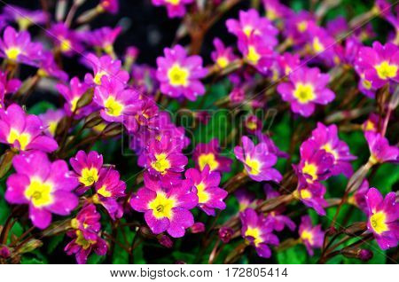 Spring flowers - Primula juliae also known as Julias primrose or purple primrose. Spring flowers, closeup view. Colorful spring flowers  of primrose. Spring flowers under soft sunlight