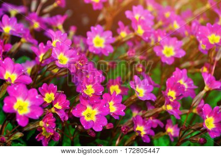 Blooming spring flowers - spring flowers of Primula juliae also known as Julias primrose or purple primrose spring flowers. Spring flower landscape with spring flowers