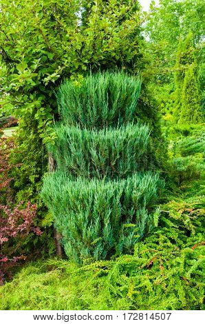 Green trimmed coniferous tree of Thuja - in Latin Arbor vitae. Thuja is an evergreen coniferous tree. Closeup of Thuja coniferous tree in the garden