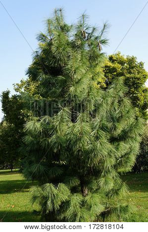 Young pine with long needles in the park