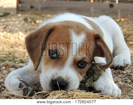 Cute little beagle pup from a low vantage point