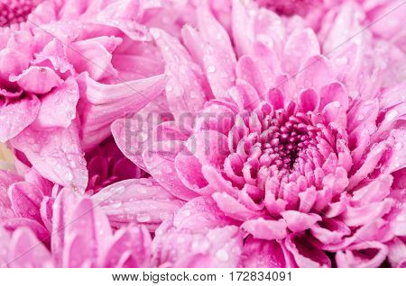 Close up chrysanthemu flower with waterdrop as background.