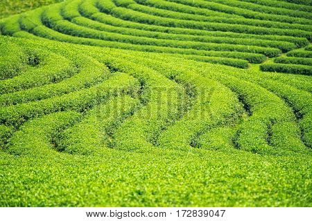 Backgroung and texture for green tea farm green step in Chiang rai Thailand