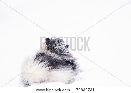 Keeshond lying in the snow outdoors in winter. Resting dog