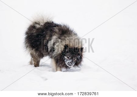 Beautiful young Keeshond dog breed. Outdoors in the snow. Winter