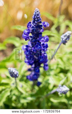 Blue Salvia flowers in nature garden outdoor.
