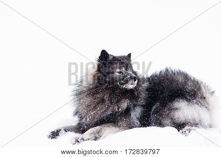 Beautiful Keeshond breed dark-colored dog lying in the snow on a white background in the winter season