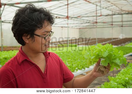 Farmer in hydroponic aquaculture hydro plant vegetable for make food and salad