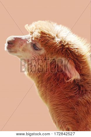 Portrait of brown alpaca on the light color background. Sweet and cute animal photo.