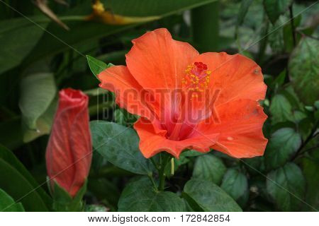 Two Hibiscus rosa-sinensis flower in a nice day.