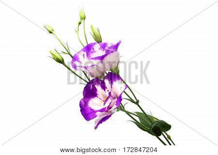 Flowers Eustoma grandiflorum isolated on a white background.