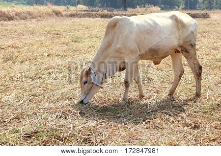 White Bull was left to eat natural food in the daytime farm in Thailand.