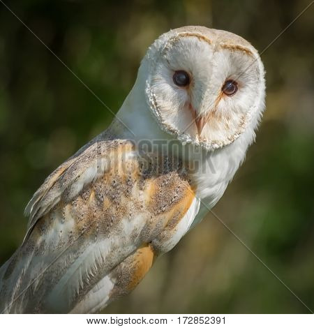 A very close detailed three quarter portrait of a barn owl perched and looking forward