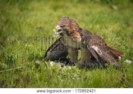 A red tailed hawk standing on the grass with feathers on its beak eating prey