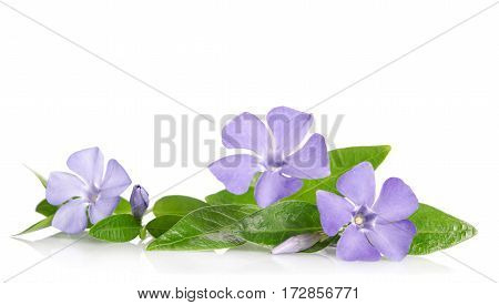 Beautiful Blue Flowers Periwinkle On White Background