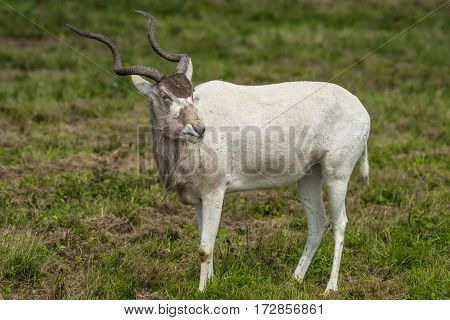 An alert Addax antelope standing and looking to right full length portrait