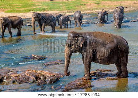 Elephants pack bathing in the river. National park. Pinnawala Elephant Orphanage. Sri Lanka.