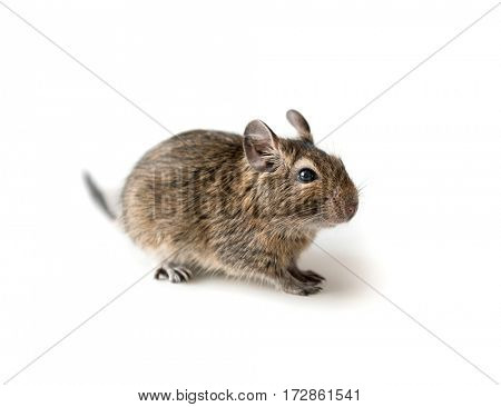 Little adorable Degu squirrel as a pet, sitting on a surface, isolated, closeup