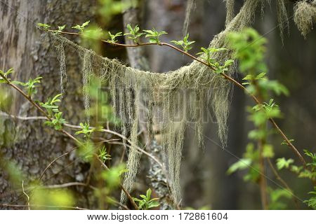 Usnea Barbata, Old Man's Beard Fungus On A Pine Tree Branch
