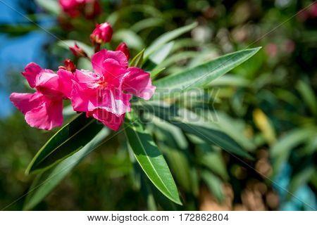 Beautiful lush pink flower of mediterranean oleander or Nerium