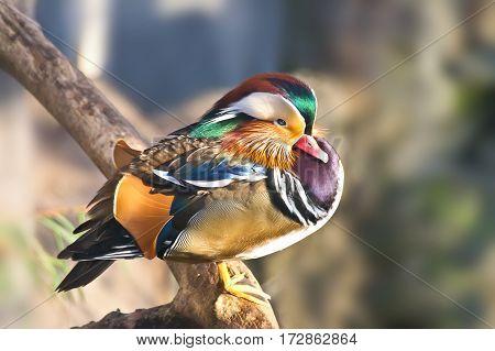 Drake Mandarin duck sitting on a tree trunk