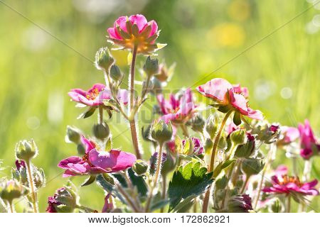 Flowering plant strawberry on a background a grass