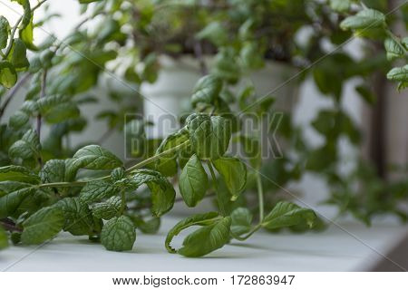 branches of the Bush mint a houseplant in white pot on the window element of the interior hobby plant gardening