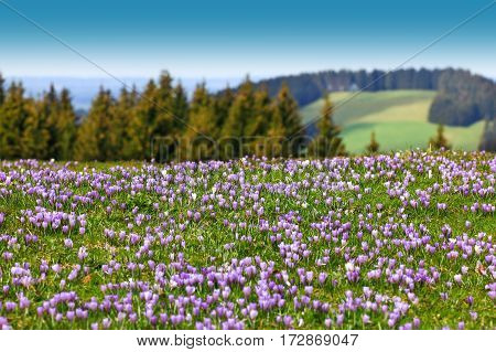 Beautiful meadow of wild purple crocuses. Blue sky and hills with trees in background. Peaceful spring day.