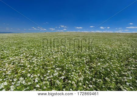 Field of flowering coriander on a background of blue sky