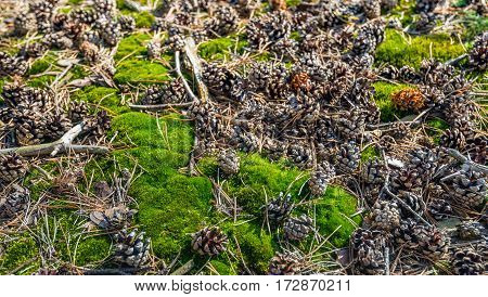 Fresh green moss twigs and small pine cones pine needles on the forest floor in a Dutch nature reserve with Scots pine trees.